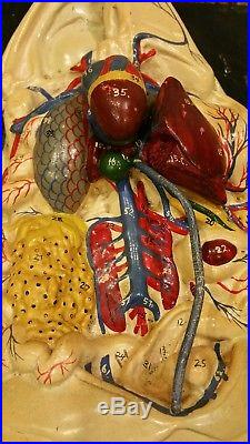Antique Vintage Hand Painted Giant Frog Dissection Anatomical Display