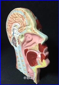Antique / Vintage Head and Brain Section Anatomical Model