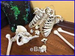 Medical Grade Full Human Medical Skeleton Rudiger Anatomy Faux Vintage Adult