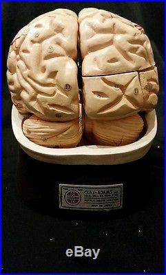 Vintage Clay Adams Brain Anatomical Model Neuroanatomy Detailed Classic Model