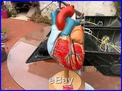 Vintage Denoyer Geppert Heart of American Anatomical Model Anatomy
