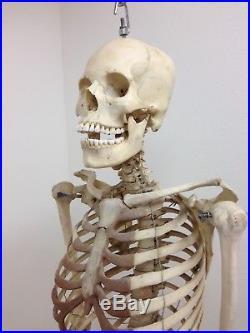 Vintage Human Medical Skeleton With Skull