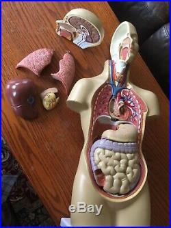 Vintage Medical Model Anatomy Germany Rare