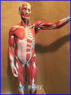 Vintage SOMSO Male Muscle Figure Half Natural Size Anatomical Model 27 Parts