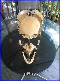Vintage rare Beauchene Human skull 4 year old